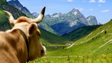 A cow's- eye view of the valley